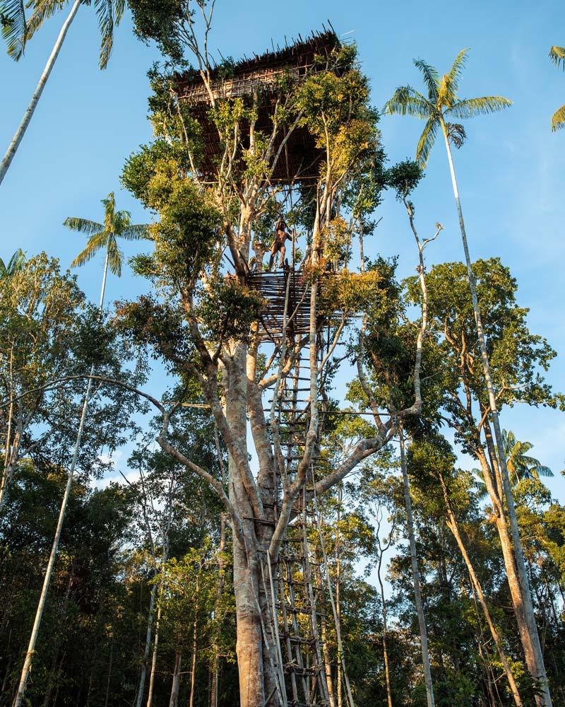 Korowai tree house forest dawn